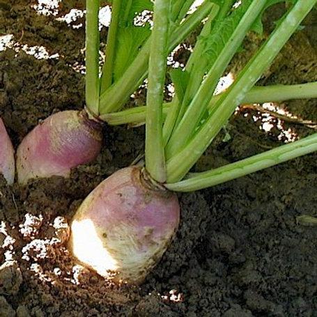 Samson Stubble Turnip Seed (2kg per acre) (AB13)