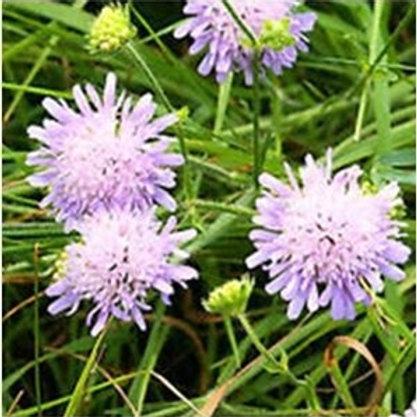 Field Scabious Wildflower Seed (Knautia Arvensis)