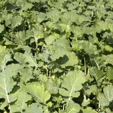 Tyfon Stubble Turnip Seed (2kg per acre) (AB13)