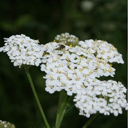 Yarrow Wildflower Seed (Achillea Millefolium)