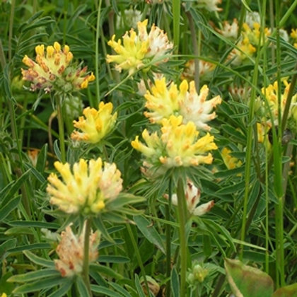 Kidney Vetch Wildflower Seed (Anthyllis Vulneraria)