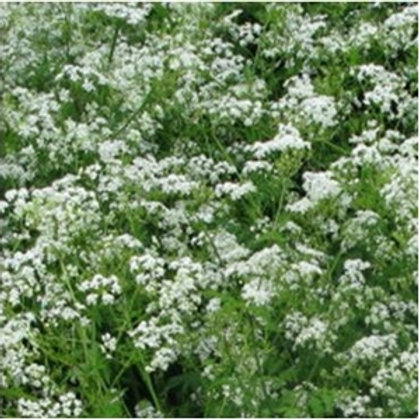 Cow Parsley Wildflower Seed (Anthriscus Sylvestris)