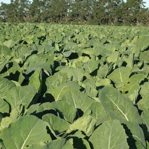 Ringo Forage Rape Seed (3kg per acre) (AB13)