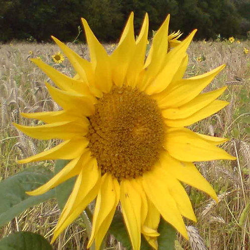 Peredovic Sunflower Seed (5kg per acre)