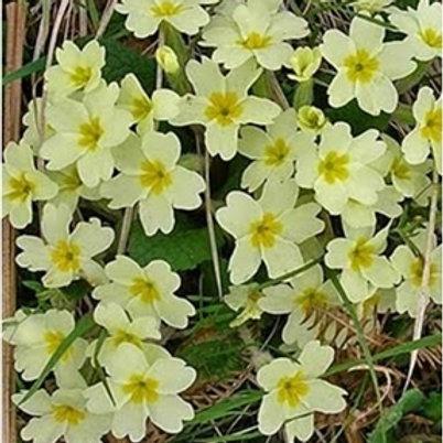 Primrose Wildflower Seed (Primula Vulgaris)