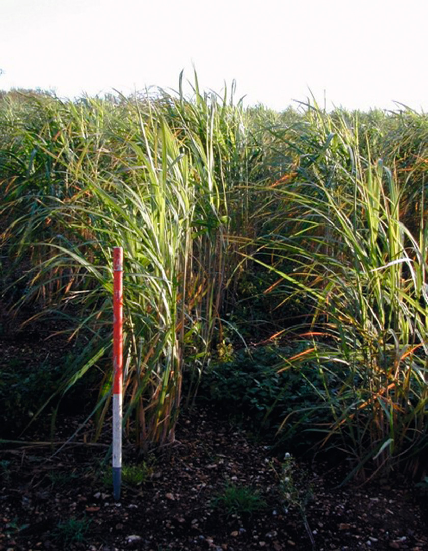 MISCANTHUS AFTER 8 MONTH.jpg