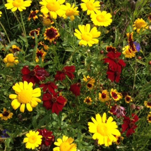 HC3 Sunkissed Meadow Wildflower Seed Mix 100%