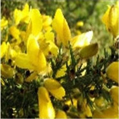 Gorse Wildflower Seed (Ulex Europaeus)