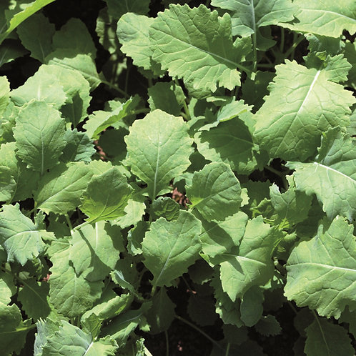 Organic Dynamo Stubble Turnip Seed (2kg per acre)