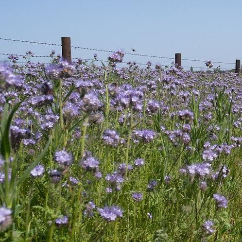 Phacelia Seed (2kg per acre) (EFA)