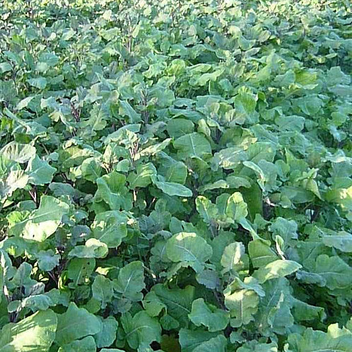 Utopia (Mustard / Kale Hybrid Seed) (2kg per acre)