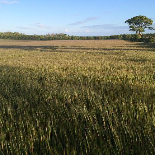 Barley Seed (75kg per acre) (EFA)