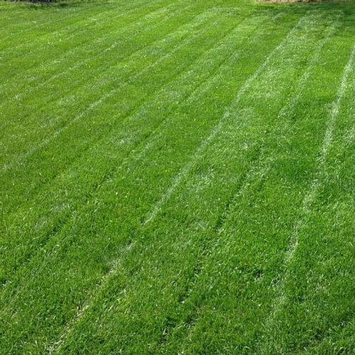 Drought Tolerant Grass Seed Mix (Rhizomatous Tall Fescue RTF)