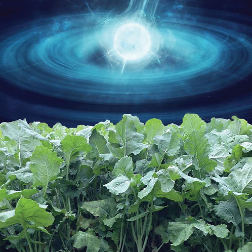Pulsar Rape / Kale Hybrid Seed (3kg per acre)