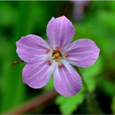 Herb Robert Wildflower Seed (Germanium Robertianum)