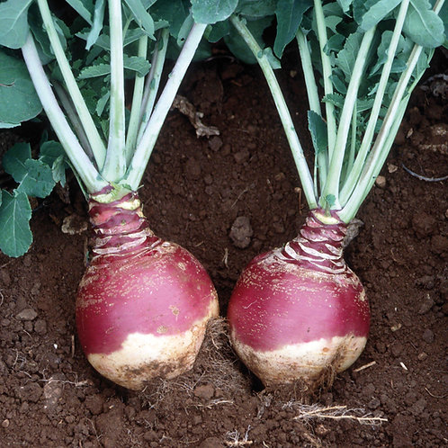 Airlie (Grade H) Swede Seed (6 Acre Pack)