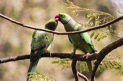 Kissing Parrot