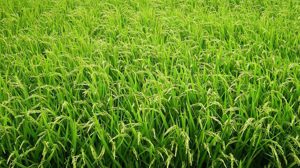 Sakamai, riz à saké, ile de Sado, rizière, Niigata.