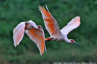 Ibis à crête, Crest ibis, ile de Sado, Sado Island, Niigata, japanese sake, Saké. Manotsuru.