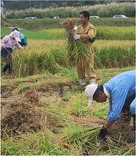 récolte de riz Gohyakumangoku et Koshiibuki pour saké KIRINZAN, importation privée, Monsieur Saké, japanese sake, sakamai, rice harvest, tanrei, junmai, Niigata.