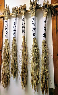 Fabrication du saké, brewing of sake, riz, rice, sakamai, Koshitanrei, Koshiibuki, Miyamanishiki, saké, japanese sake, semaibuai, Monsieur Saké.