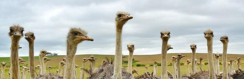 nature-bird-animal-flock-wildlife-beak-africa-ostrich-fauna-long-neck-birds-emu-animals-vertebrate-r