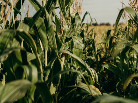A Farmers Observation - Terreplenish Corn Field Study