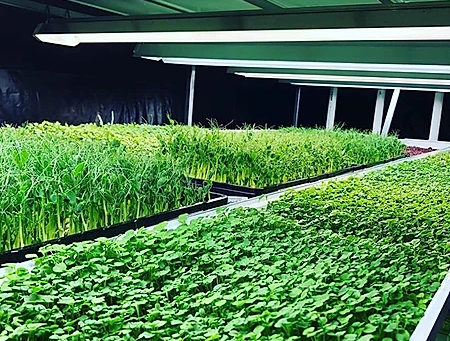 Understanding Microgreens Production Without a Solid Rooting Medium   Nick Greens Grow Team