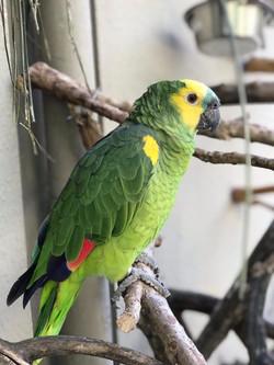 Paco | Papagaio Verdadeiro