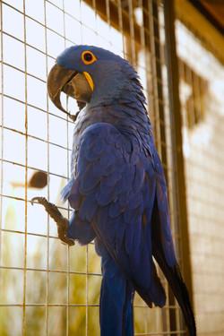 Blue | Arara Azul Grande