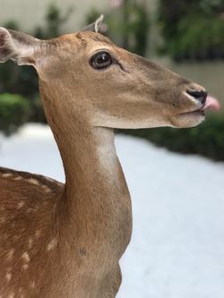 Duda | Cervo  Dama Dama