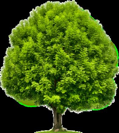 Frene_arbre.png