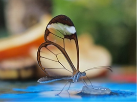 papillon aux ailes de verre bis.png