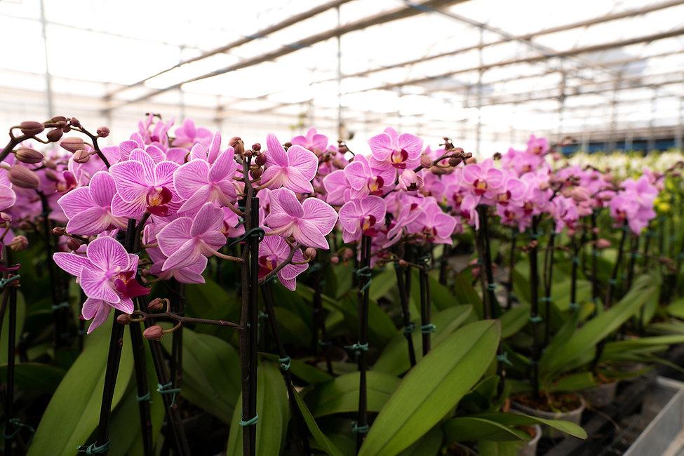 Conecte Flora, estufa de orquideas, Hola