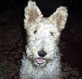 Rescue-Wire-Fox-Terrier