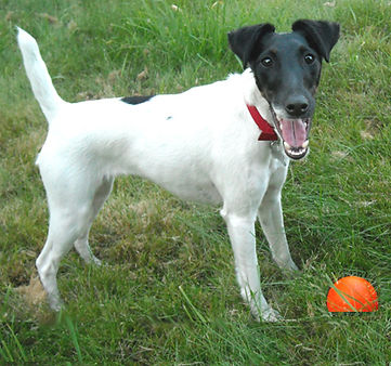 Smooth-Fox-Terrier-Playing