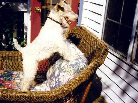 Wire-Fox-Terrier-Let-Me-In