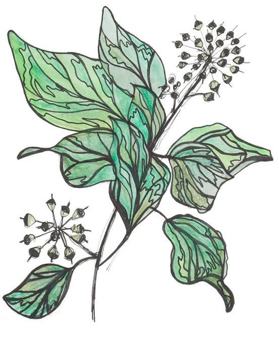 Ivy 2