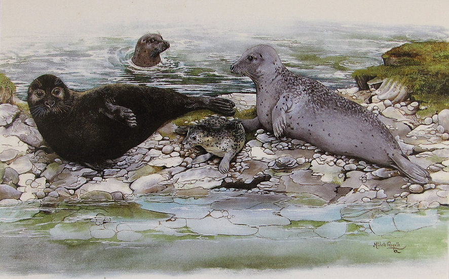 Harbour Seal Card