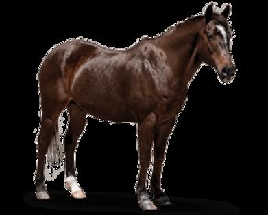 horse-senior.png