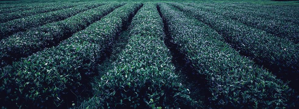 Tea%20Plantation_edited.jpg