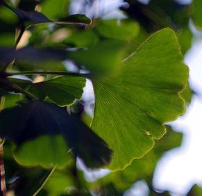 feuilles 'arbre à thé