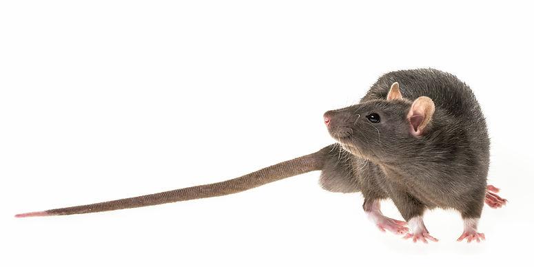 cute pet rat.jpg