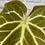 Thumbnail: Anthurium Magnificum #3