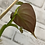 Thumbnail: Philodendron Lupinum #1