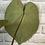 Thumbnail: Anthurium Magnificum #1