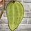 Thumbnail: Hoya Latifolia #1