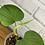 Thumbnail: Philodendron Fibraecataphyllum #1