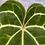 Thumbnail: Anthurium Magnificum #2