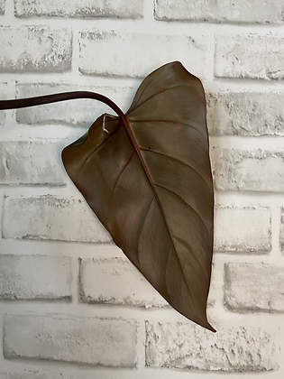 Philodendron Dark Lord #1